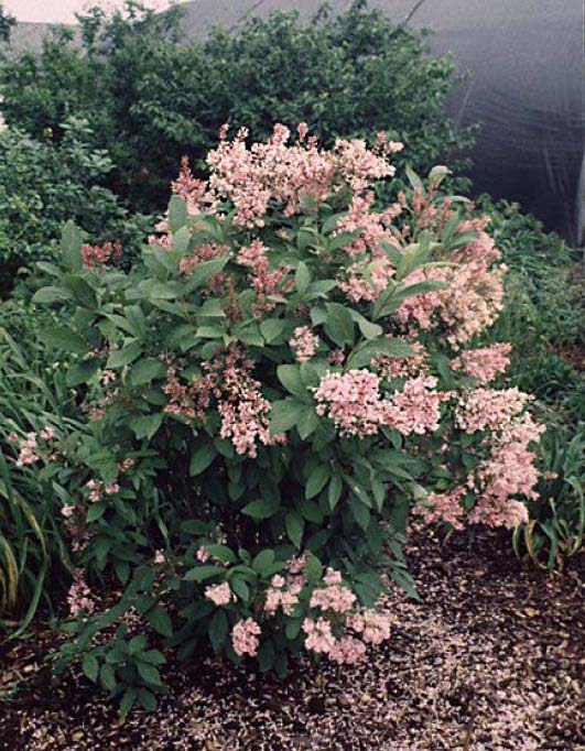 James Macfarlane Lilac Featured Plant of The DayJames Macfarlane Lilac