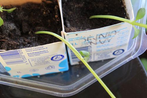 miten suojata karaistavat kasvit tuulelta