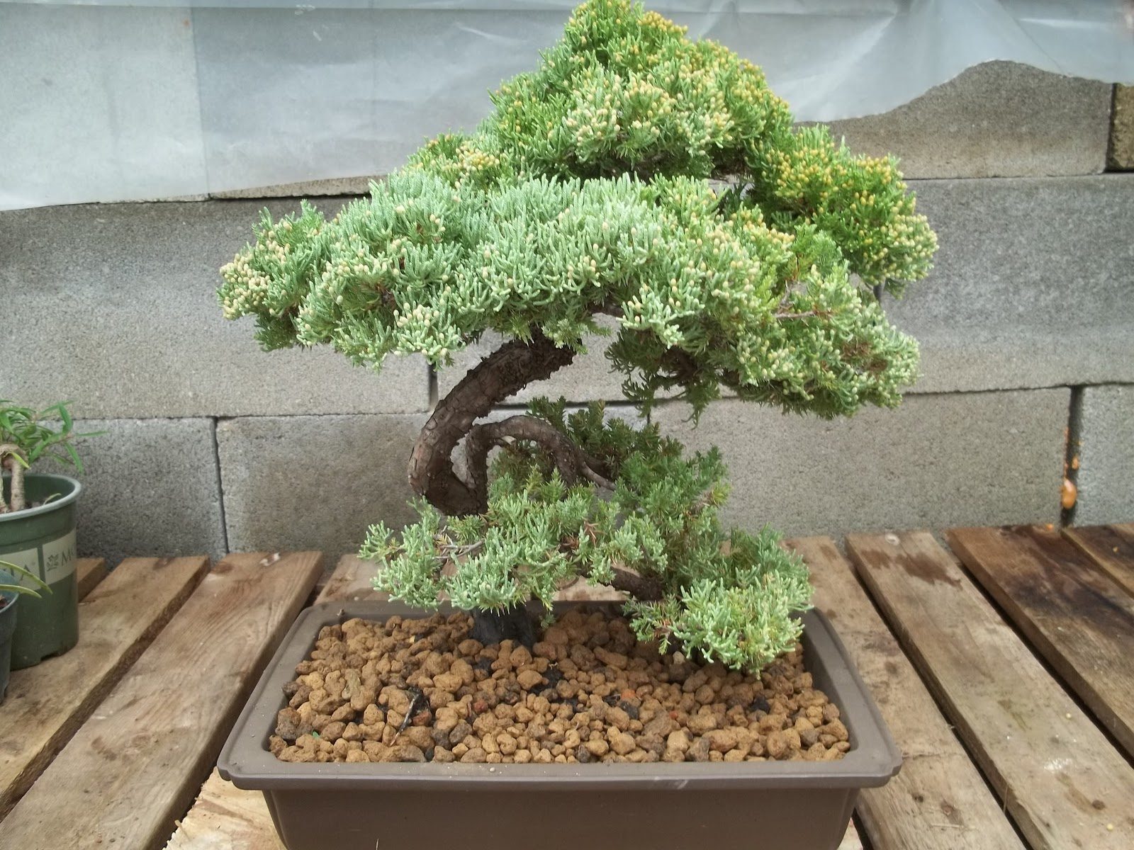 Bent Tree Bonsai November 2012