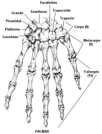 Imagen de los huesos de la mano (Palmar)