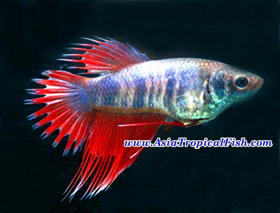 Aquarium fish store live tropical fish betta fish for Live fish store