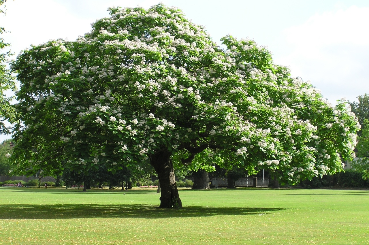 Tree free wallpaper catalpa tree for Arboles de jardin de hoja perenne