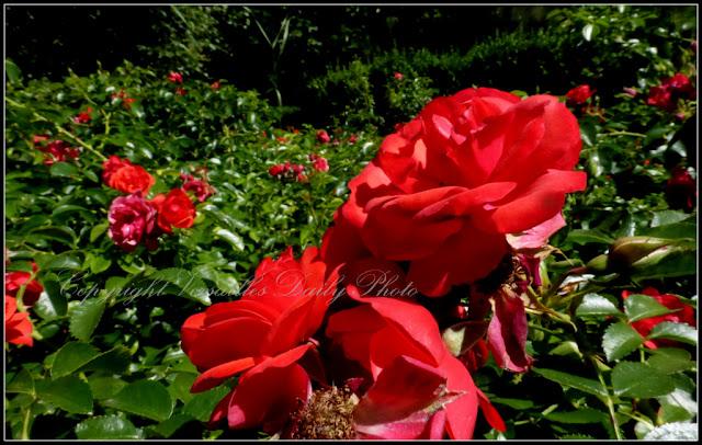 Roses Domaine de Madame Elisabeth Versailles