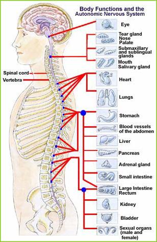 syaraf tulang belakang