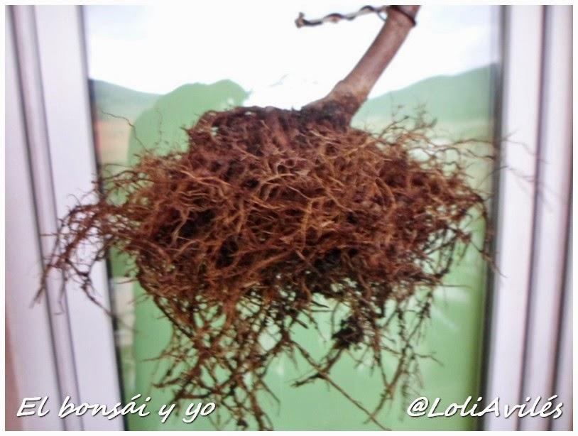Primero de la temporada trasplante de la glicinia el bons i y yo - Glicinia en maceta ...