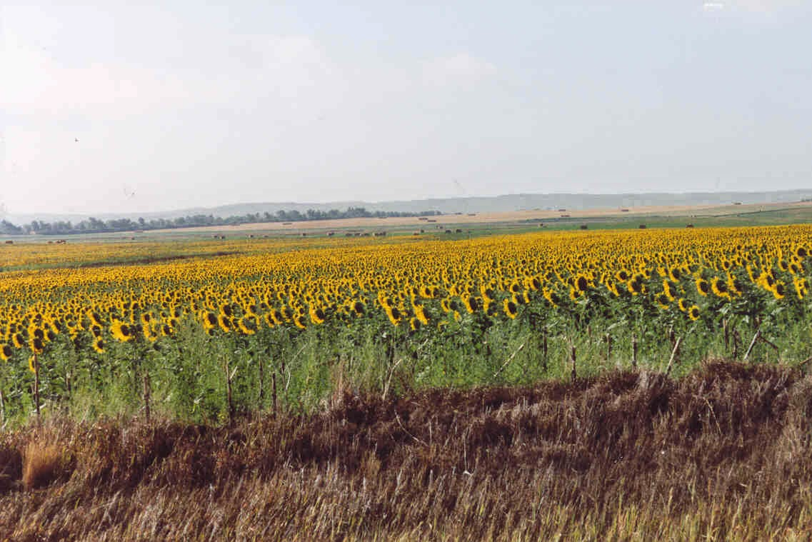 South Dakota Sunflowers