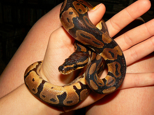 Pet Snakes – What to Know Before Getting One | Animals Library