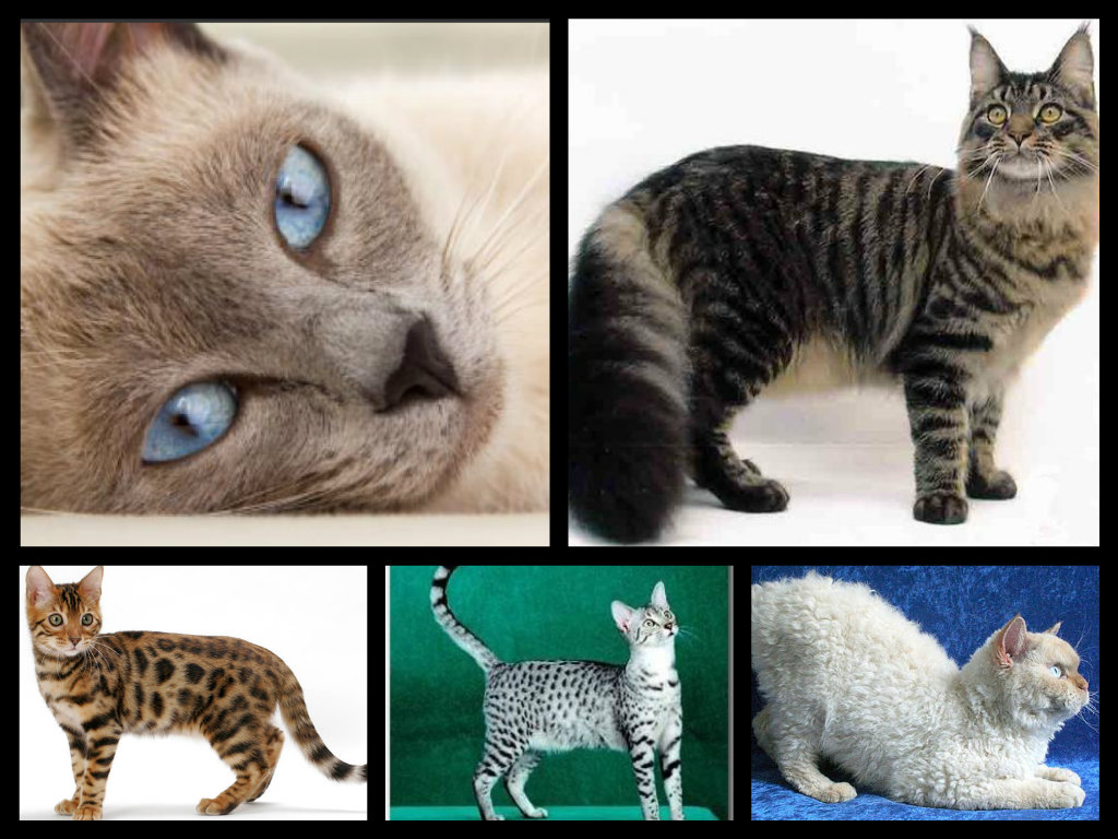 Makeshift Surfaces Take Five Prettiest Cat Breeds I Can t Afford