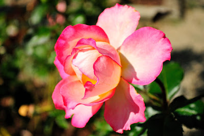 Hermosa rosa bicolor - Beautiful rose