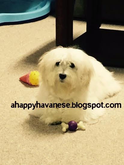 A Happy Havanese