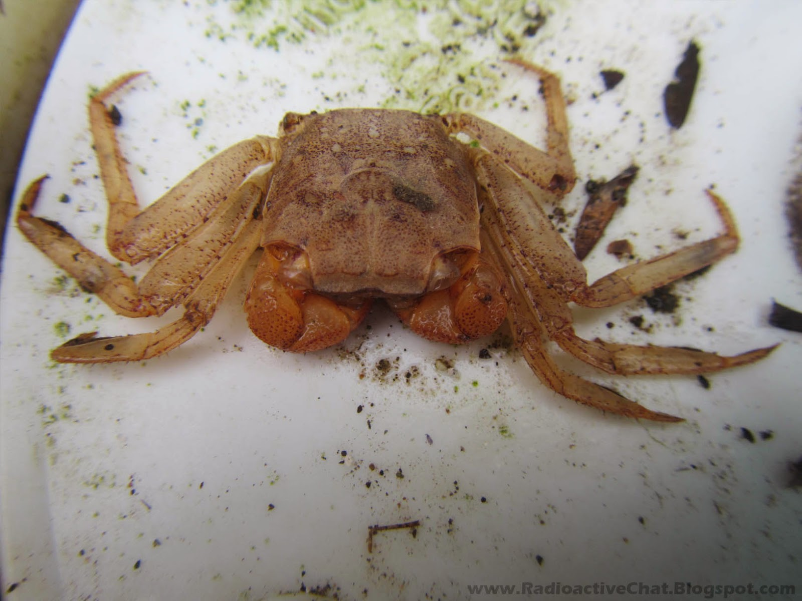 Costa Rica Pacific Coast Mass Animal Deaths Fukushima Radiation - Gecarcinus Quadratus Mangrove Crabs Photo 1