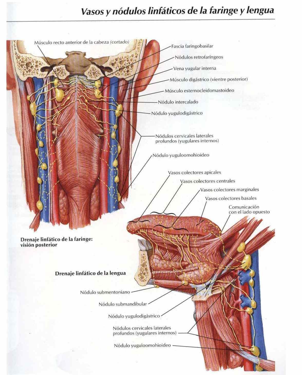Atlas, anatomía: Vasos y módulos linfáticos de la faringe y lengua ...