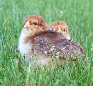 """The main factor in crop problems is prevention.  DON'T give your hens access to long, lush, springy grass, twine or other long, stringy things that they can eat.  DO make sure that there is plenty of good, palatable water near where the hens will be foraging.  If you yard is large, and you have some """"bully"""" birds, it is a good idea to provide a few """"drinking stations"""" where timid birds can get some water while they are feeding."""