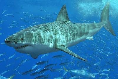 Tiburón acompañado de peces