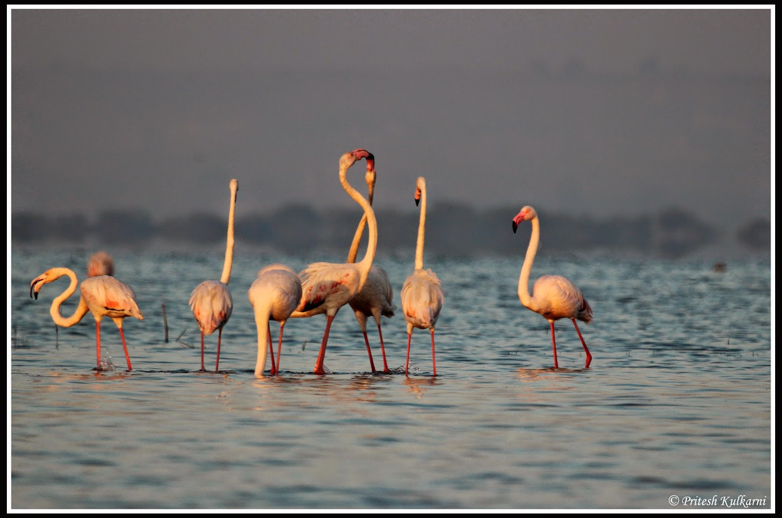 Love...Greater Flamingo
