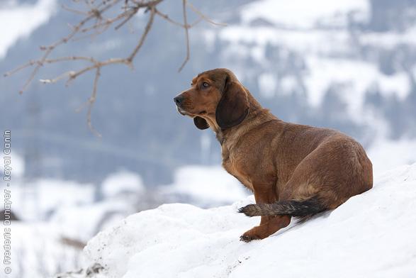 Alpine Dachsbracke Hunting Breeds