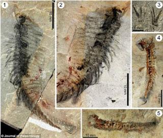 Kooteninchela fossil
