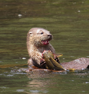 Lutra longicaudis, Neotropical River Otter