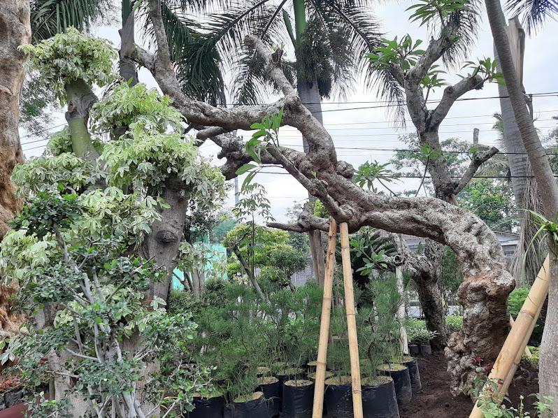 Pohon Kamboja Fosil Unik