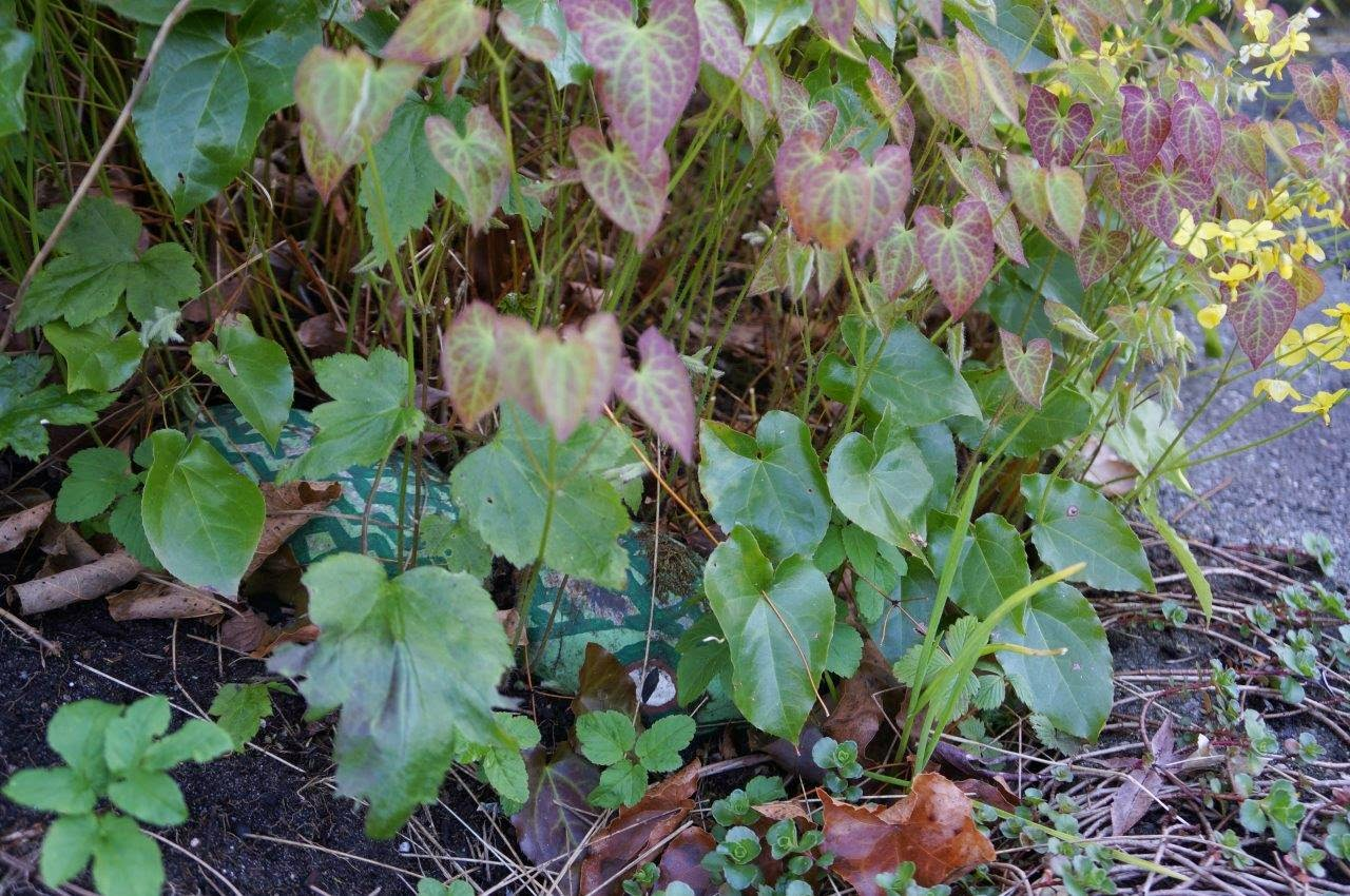 Epimedium with yellow flowers and a rock painting lurking in the heart shaped leaves.