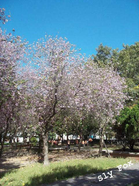 台南青年公園羊蹄甲