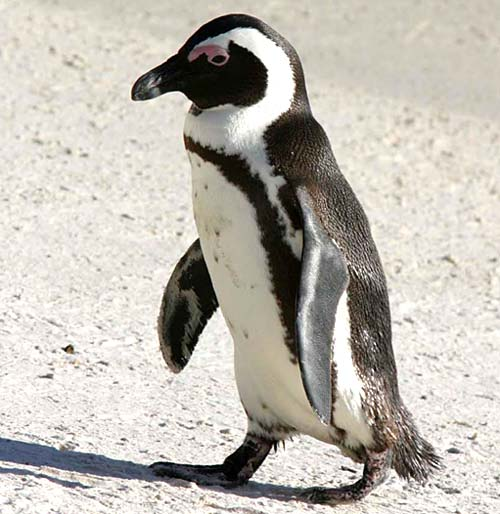 This is a picture of a African Penguin at Boulders Beach in Simons Town.