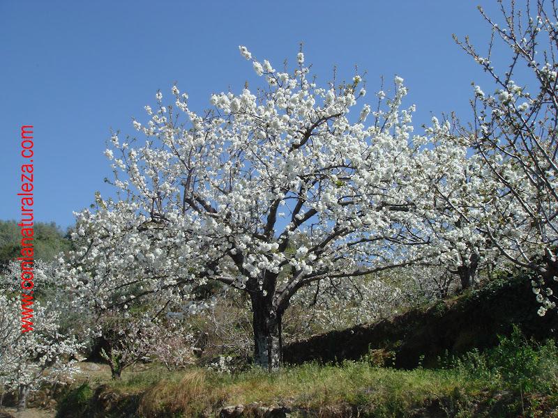 Flora urbana de getafe cerezo for Lista de arboles de hoja caduca