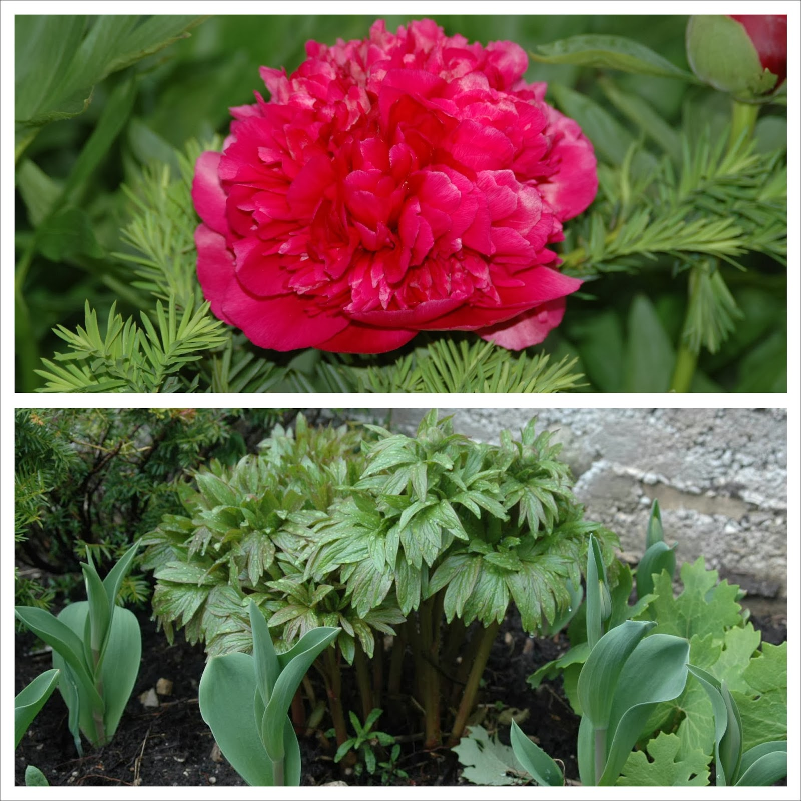 Unidentified, early short red peony