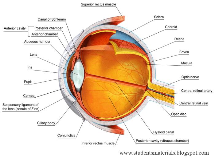 EYES, human eye