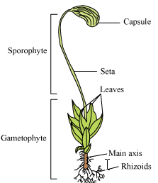 Multiple Choice Questions on Bryophytes ~ MCQ Biology - Learning ...