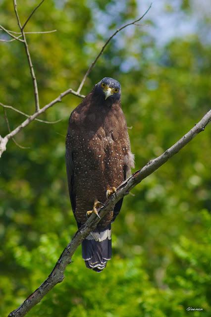 雞南山的大冠鷲- 阿鷲