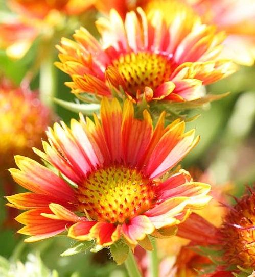 Perennial Flowers That Bloom All Summer Image Shutter