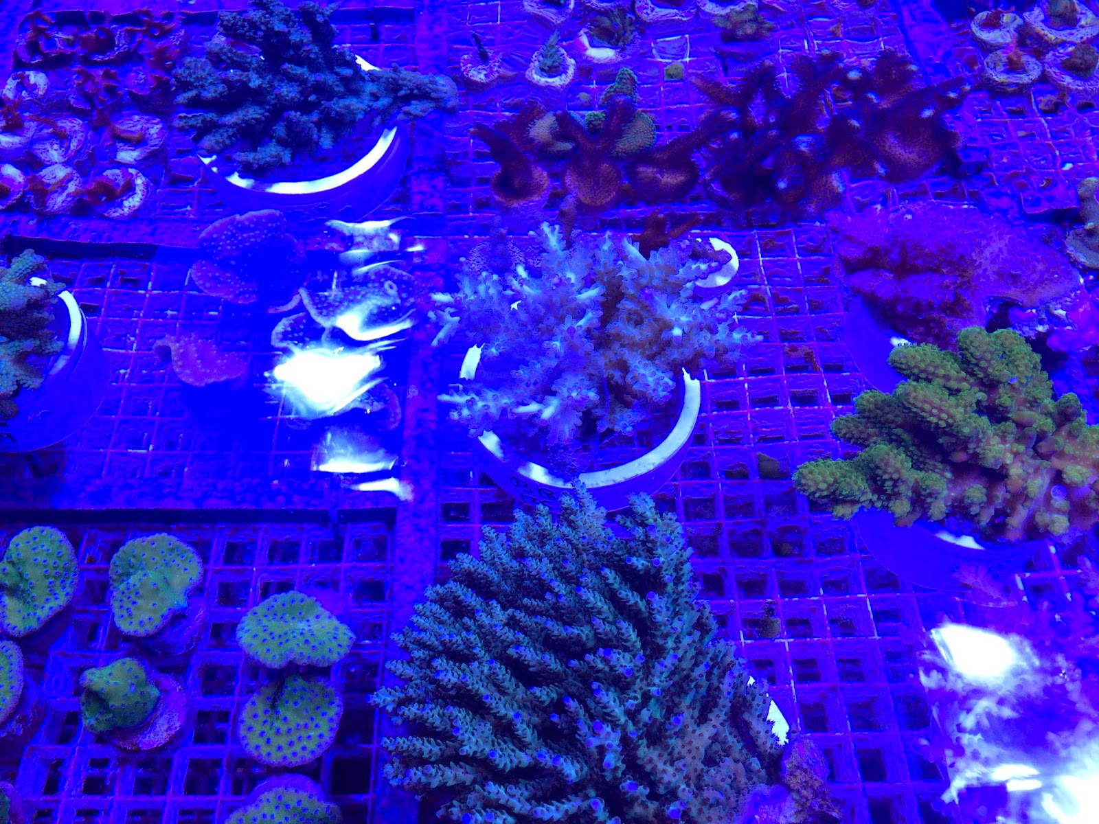marinecultured sps and aquacultured frags
