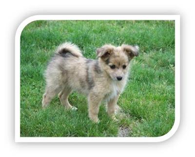 Mini Australian Shepherd Puppies Photos