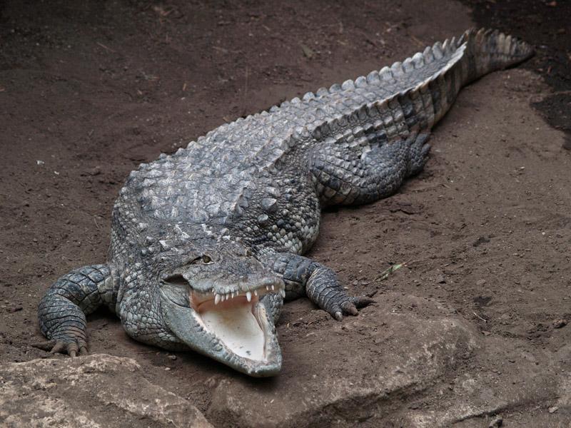 fantastica animal mugger crocodile