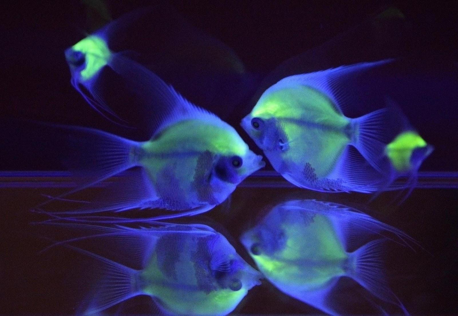 Taiwan luminous angelfish for Glow in dark fish