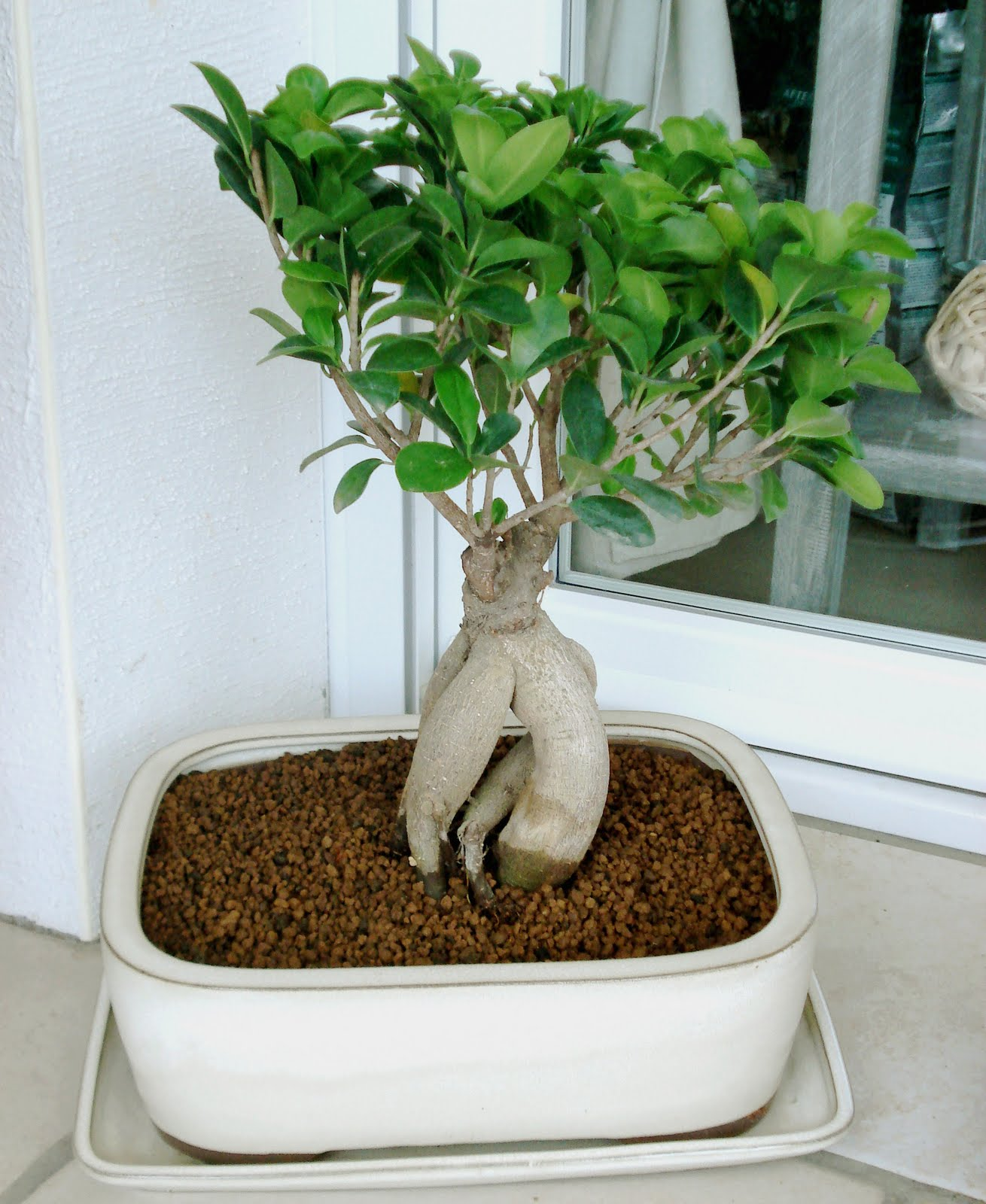 the white home mon ficus ginseng. Black Bedroom Furniture Sets. Home Design Ideas