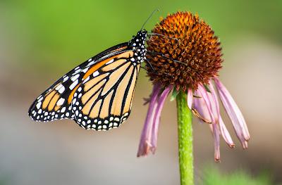 Monarch Butterfly on Coneflower, LLELA