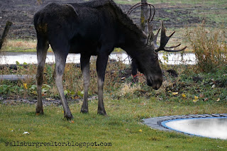 Moose inspecting the mysterious trampoline - Wallsburg, Utah