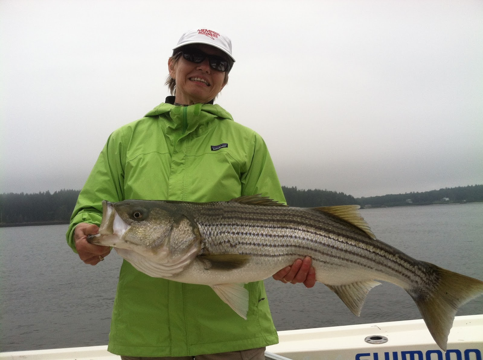 Maine Striper Fishing Reports Charters Guided Saltwater