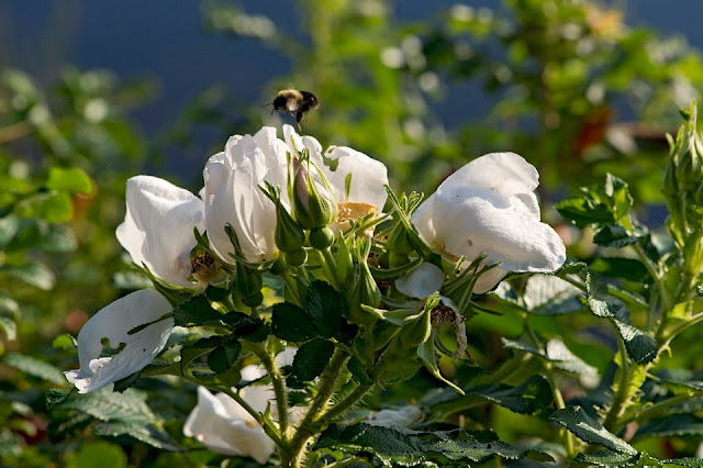 Nova Scotia; LaHave River; Island; Roses, Bees