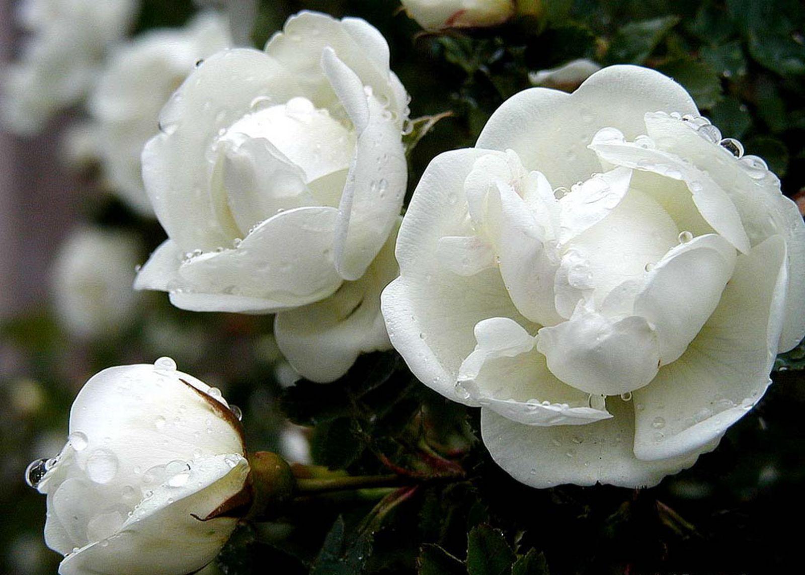 white rose flowers - photo #16