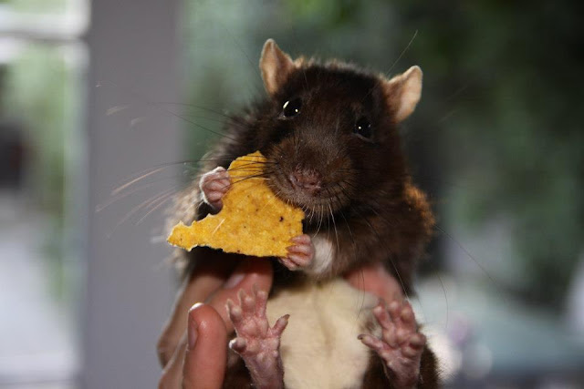 rat eats snack, funny animal pictures, animal photos, funny animals