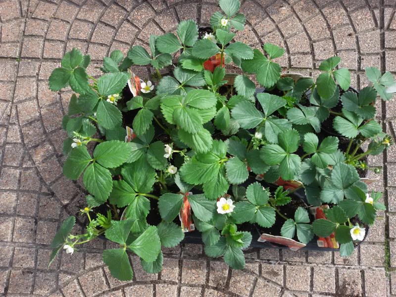 P creativa orto sul balcone fragole in vaso for Fragole in vaso