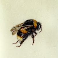 Bumblebee painting on vellum by Shevaun Doherty
