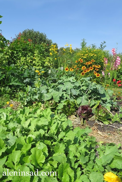 сад в августе, клумбы, рудбекия, гелениум, розы, гладиолусы, аленин сад, огород, брюква, дайкон, цикорный салат