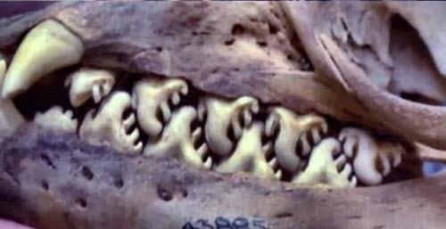La estructura dental de una foca cangrejera
