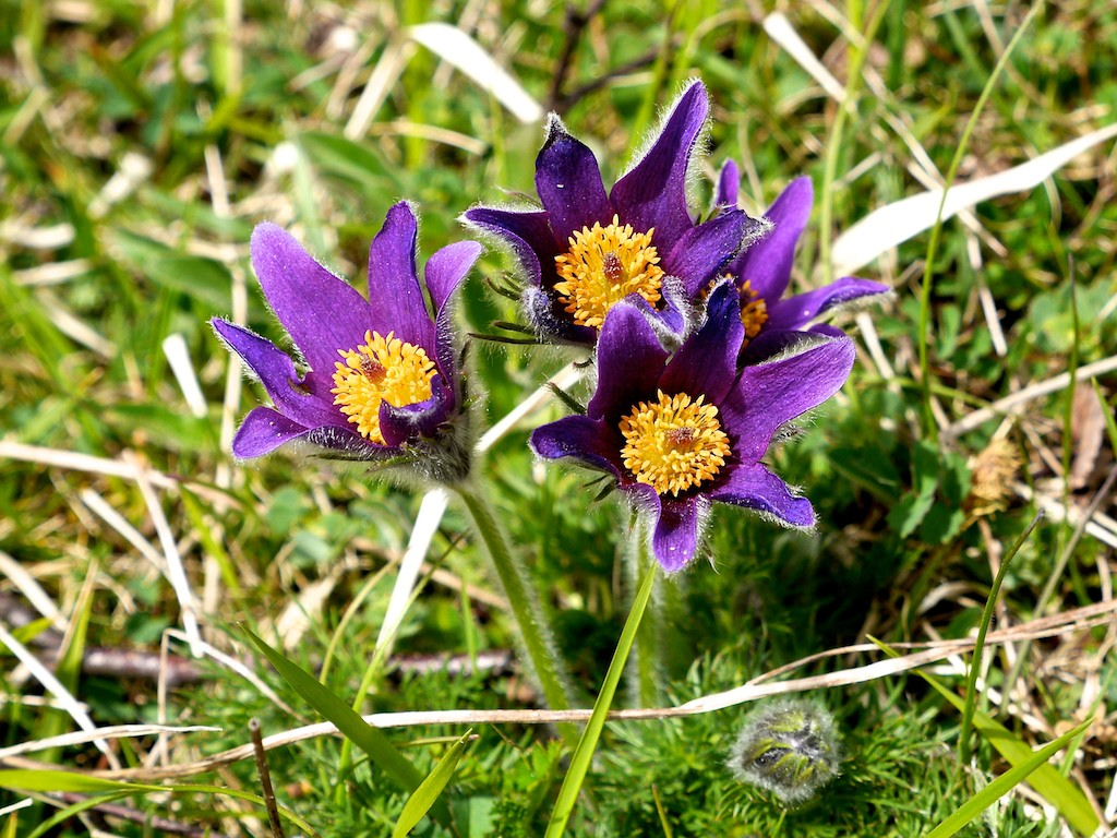 Roy s Nature Logbook Pasque Flower