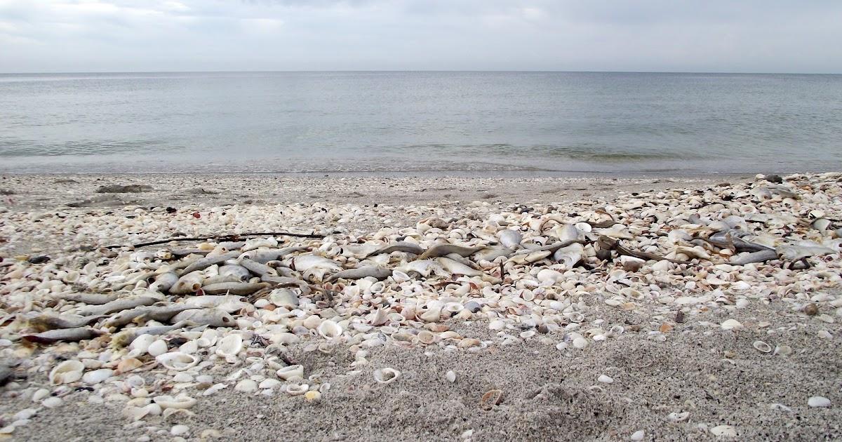 The essential beachcomber update on red tide algae bloom for Tides 4 fishing sarasota