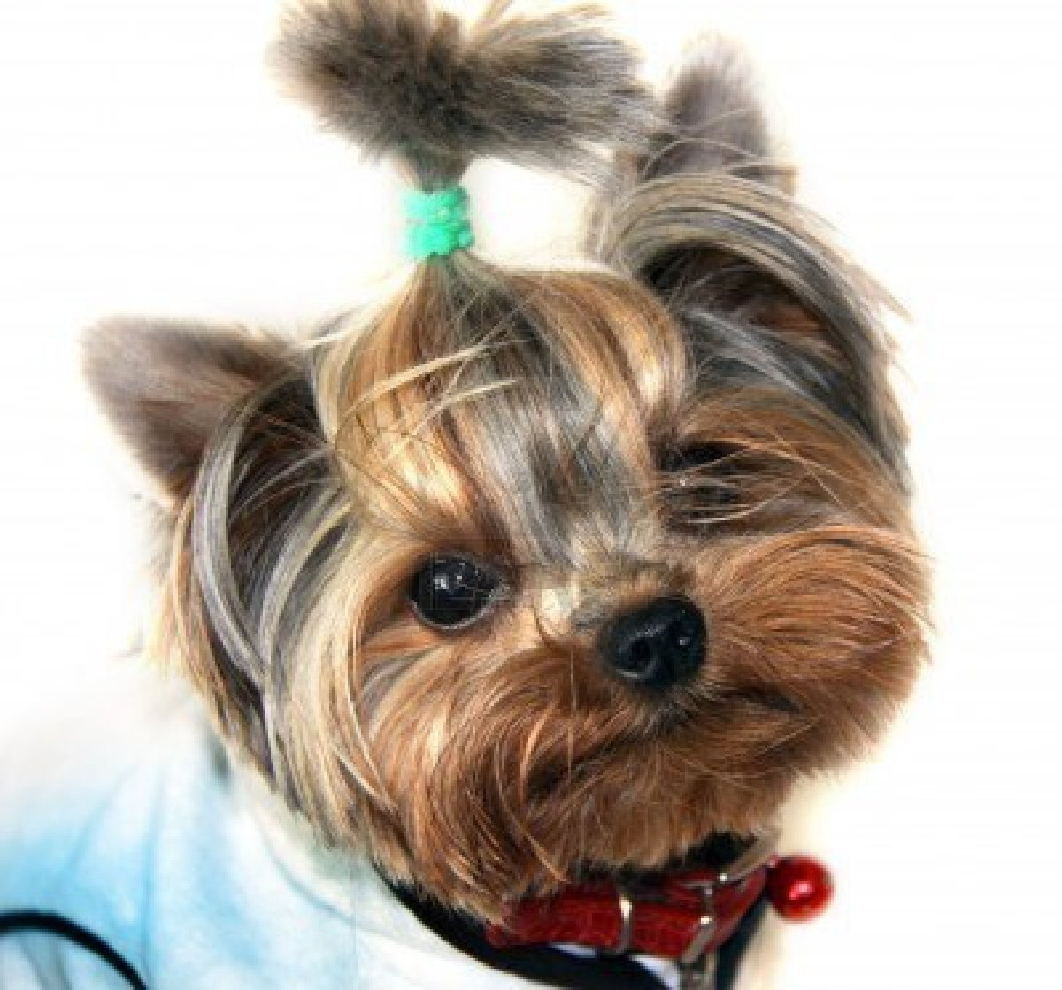 yorkshire terriers The yorkshire terrier dog breed has many unique features check out the yorkshire terrier dog breed on animal planet's breed selector.
